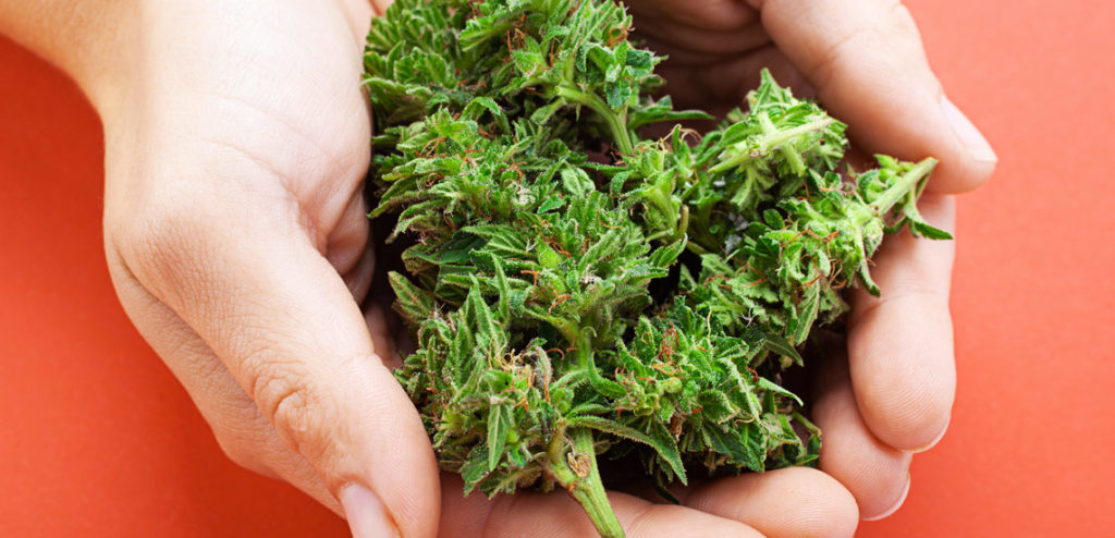 Holding cannabis with hands