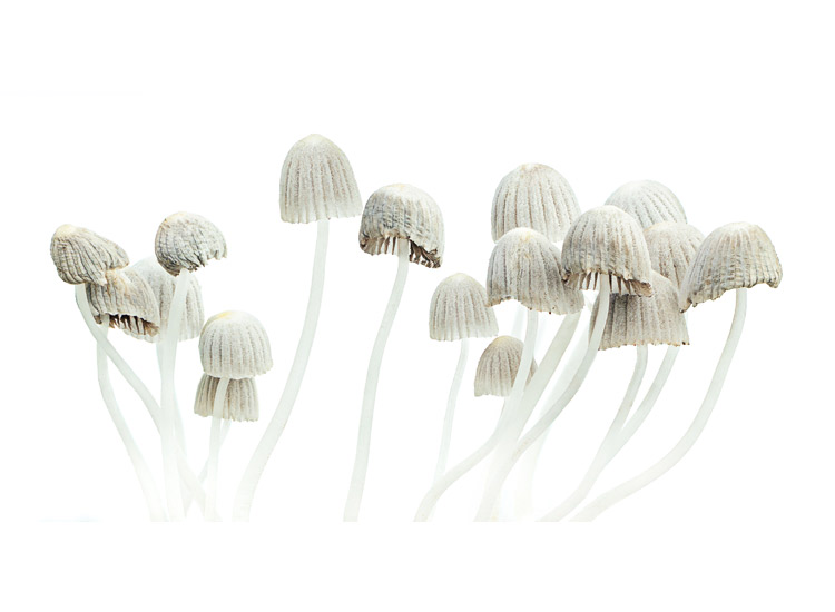 magic mushrooms with white background